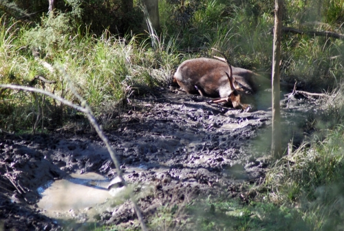Chris Brereton, Bairnsdale - Sambar Deer Success Story